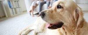 Odeur et poil de chien