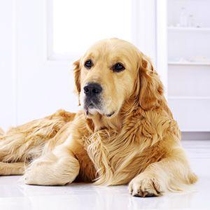odeurs et poils de chien comment prendre soin de sa maison lorsque l 39 on a un chien starwax. Black Bedroom Furniture Sets. Home Design Ideas